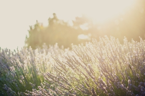 'As Rosemary is to the Spirit, so Lavender is to the Soul.' (Anonymous)